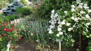 Comment et quand planter les rosiers - Quand couper les rosiers ...